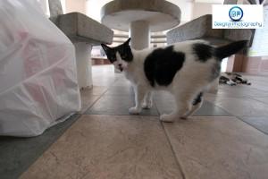 singapore cat black white panda IMG_5037